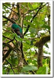 Female Resplendent Quetzal