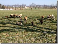 Small sheep farm I pass in Fleetwood, PA